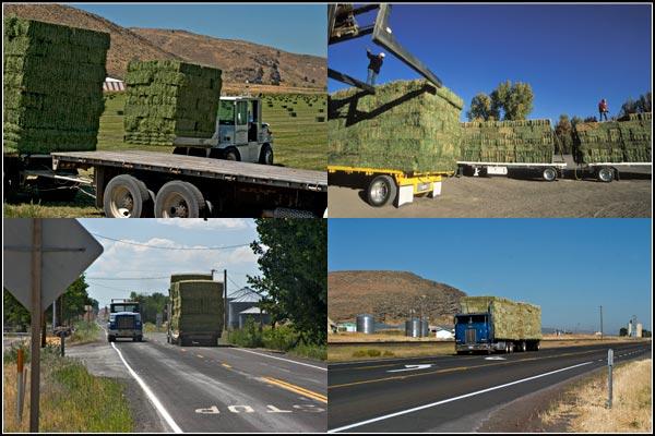 Alfalfa on trucks and moving down highways to market.  tule lake basin alfalfa.  tulelake california.  photos by anders tomlinson.