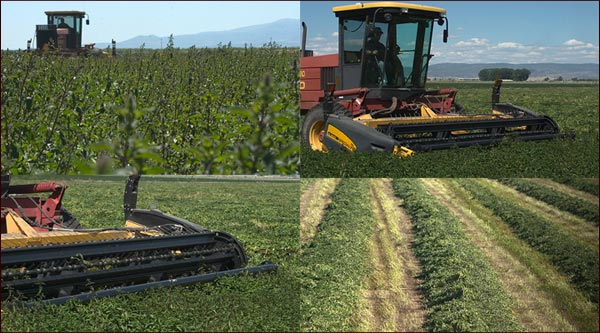 cutting mint in tulelake california.  photos by anders tomlinson.