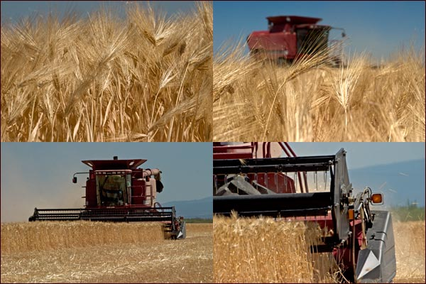 Combines cut and harvest grain in the tule lake basin, tulelake, ca.  photos by anders tomlinson