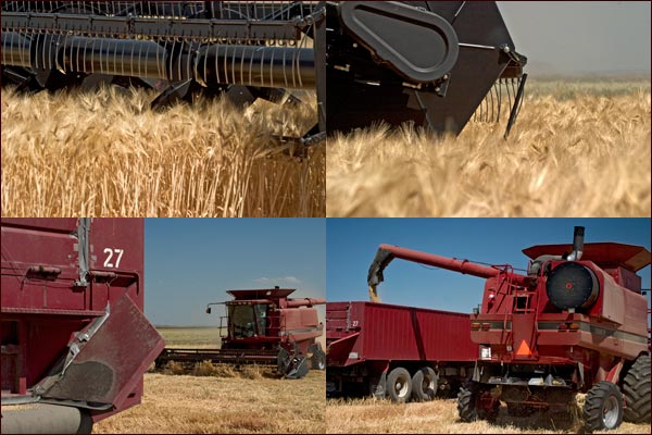 Grain Will be Off-loaded From The Combines to  Waiting Trucks., tule lake basin, tulelake, ca.  photos by anders tomlinson.