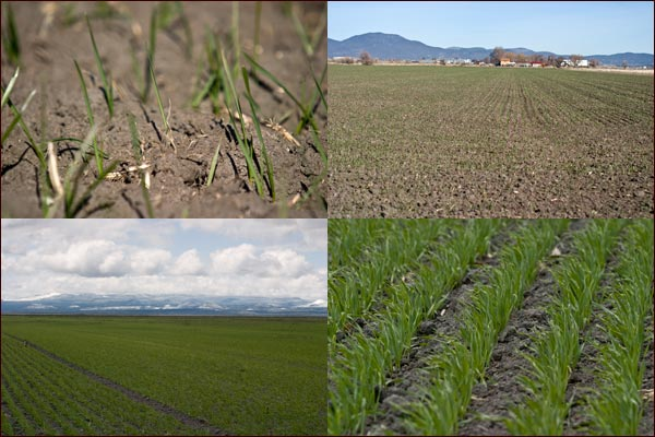 Grain begins to sprout and grow in Tule Lake basin grain fields, tulelake, Ca.  photos by anders tomlinson