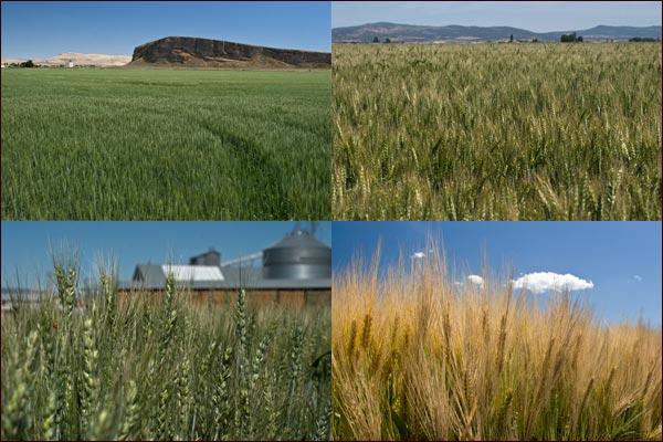 Tule lake basin grain grows taller,  tulelake, ca.  photos by anders tomlinson
