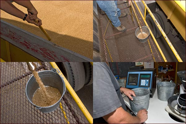 a sample is taken from the truck load of grain to be analyzed, tule lake basin, tulelake, ca.  photos by anders tomlinson
