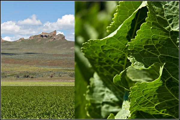tule lake basin horseradish in the ground.  photos by anders tomlinson.