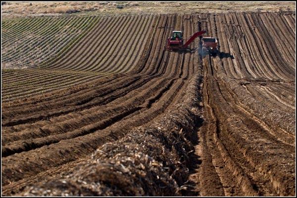 hillside of tule lake basin horseradish being harvested.  tulelake, california.  photos by anders tomlinson.
