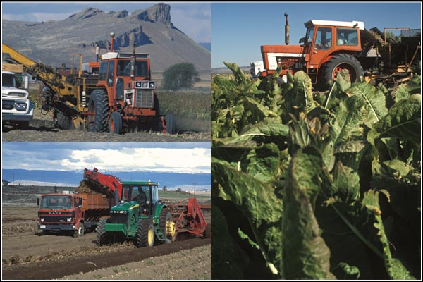 Tractors and trucks harvesting horseradis.  tule lake basin.  tulelake california, photos by anders tomlinson