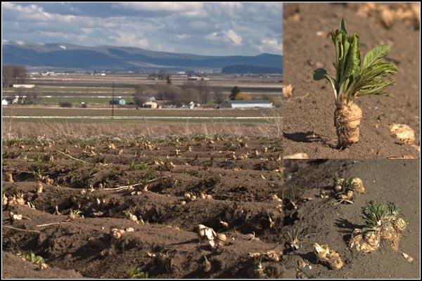 Soon the Horseradish Root will See the Light of Day, tule lake basin horseradish, tulelake, california.  photos by anders tomlinson.