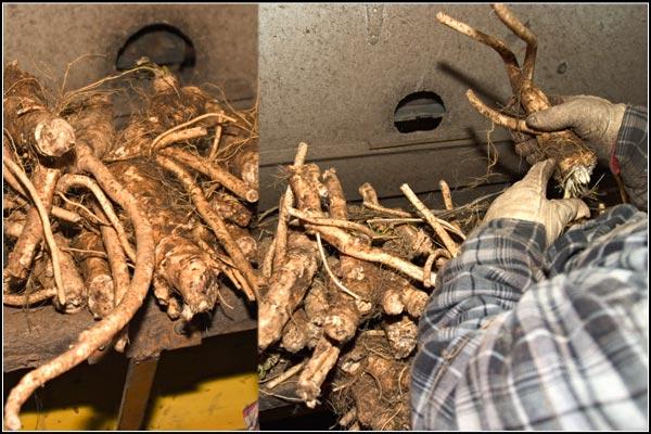 horseradish being processed.  tule lake basin, tulelake, ca.  photos by anders tomlinson.