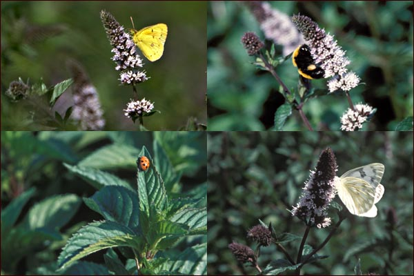 butterflies, ladybugs and moths enjoy mint flowers, tulelake, ca.  photos by anders tomlinson