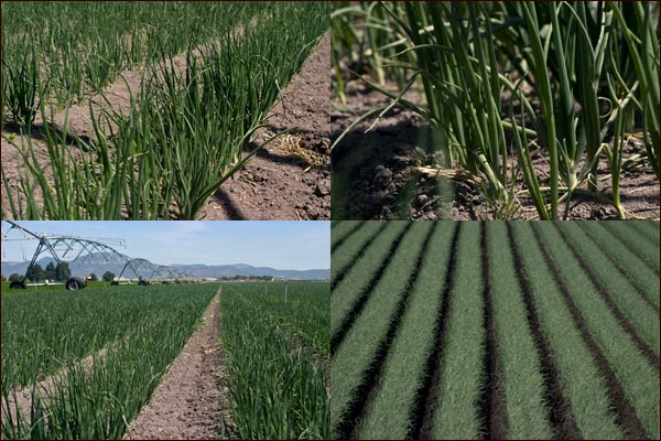 Onions fields in early stages of growth, tule lake basin, tulelake ca. photos by anders tomlinson.