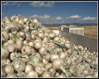 onion icon, tulelake california.  photo by anders tomlinson