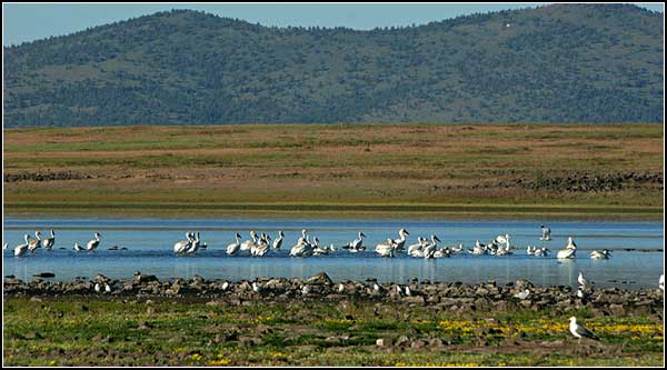pelicans on clear lake national wildlife refuge, modoc county california, tulelake california photo by anders tomlinson