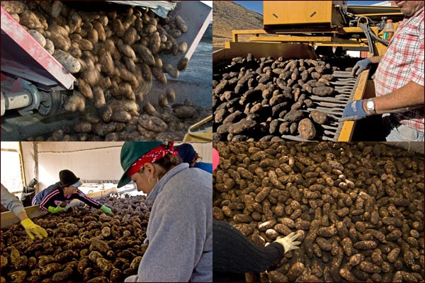 Conveors take the potatoes from the truck through multiple quality control checks on their way to a potato shed for storage.  Tule Lake Basin, tulelake ca,  photos by anders tomlinson.