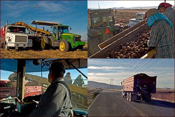 composite of four  tule lake basin potato harvest photos.  tulelake, ca. photos by anders tomlinson