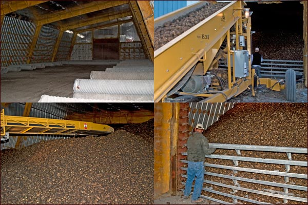 potato enter a potato storage shed via a conveyor.  the shed fills up.  tule lake basin, tuelake, ca.  photos by anders tomlinson.
