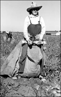 lady harvesting potatos with a belt and sack,  tule lake, ca.  photo from buruea of reclamation