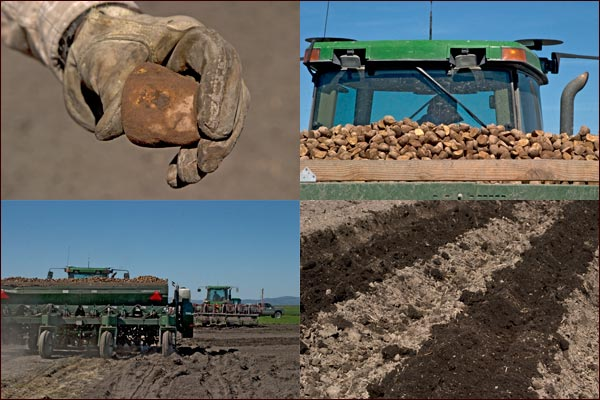 Potato seed being planted into Tule Lake Basin soil.  tulelake, ca.  photos by anders tomlinson