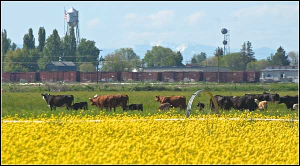 a field of yellow flowers, cattle, train cars and merrill, oregon.  photo by anders tomlinson.