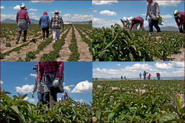 weeding crew in tule lake basin farm field.  tulelake, california.  photos by anders tomlinson
