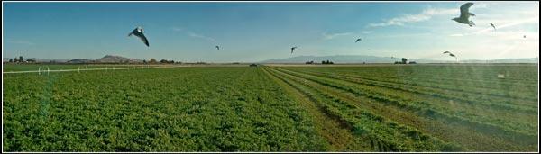 alfalfa field in tule lake basin being cut. tulelake, ca.  photo by anders tomlinson