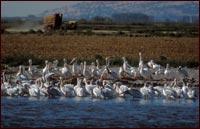 pelicans in tule lake national wildlife refuge walking wetlands, an alfalfa squeeze is seen in the background. photo by anders tomlinson.