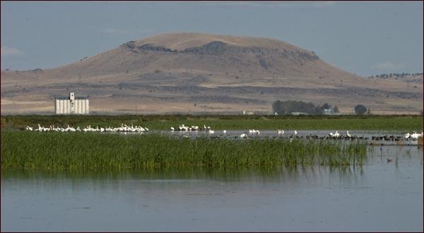 pelicans eating and resting in walking wetlands.  tule lake national wildlife refuge.  tulelake, ca.  photo by anders tomlinson