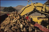 potato harvest on tle lake national wildlife refuge.  this was a reclaimed walking wetland.  photo by anders tomlinson.
