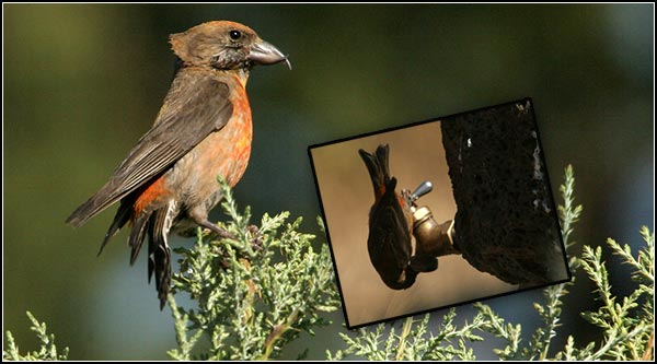 A red crossbill enjoys a Lava Beds' camp site.  They use their unique  crossed mandibles to extract conifer seeds from cones. lava beds national monument, tulelake, ca.  photo by anders tomlinson.  8-23-2004.