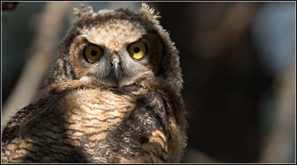 great horn owl, klamath national wildlife refuge, klamath county.  photo by anders tomlinson.