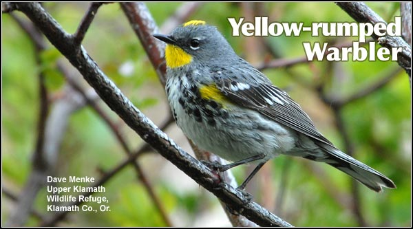 The Yellow-rumped Warbler is the most common warbler found in the Upper Klamath Basin watershed. Yellow-rumped warblers are observed during the spring, summer and fall and occasionally during the early winter months. They are also found in juniper-sagebrush, Ponderosa /lodgepole pine and high elevation forest habitats. photo by dave menke