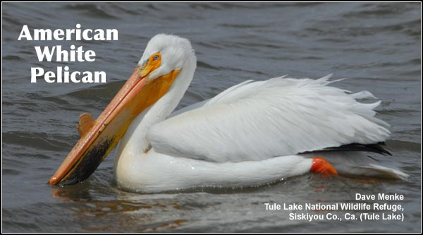 American white pelicans nest and raise young near colonial nesting sites on small islands in permanent wetlands on Upper Klamath, Lower Klamath and Clear Lake National Refuges. photo dave menke
