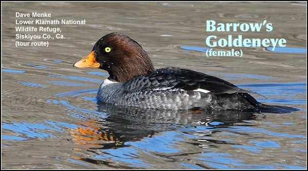 Barrow's Goldeneye is a rare diving duck of deep water wetlands.  Although they may be observed year-round and are known to nest near Diamond Lake,  they are most often seen in the winter and spring  on the Link River. photo dave menke
