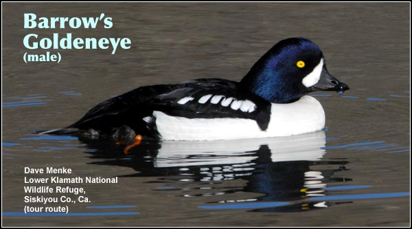 Barrow's Goldeneye is a rare diving duck of deep water wetlands.  Although they may be observed year-round and are known to nest near Diamond Lake,  they are most often seen in the winter and spring  on the Link River. photo by dave menke