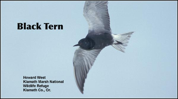 Black terns are found primarily in permanent marsh habitats during the summer breeding season. They nest in isolated marshes on Upper Klamath Lake, Lower Klamath and Klamath Marsh Refuges. photo howard west