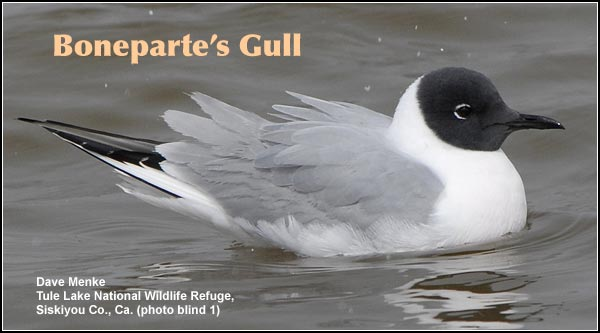 Boneparte's gulls are  present during the  spring and summer.  These two gull species are seen near large  expanses of open water  in the Upper Klamath  and Tule Lake Basins.  photo dave menke