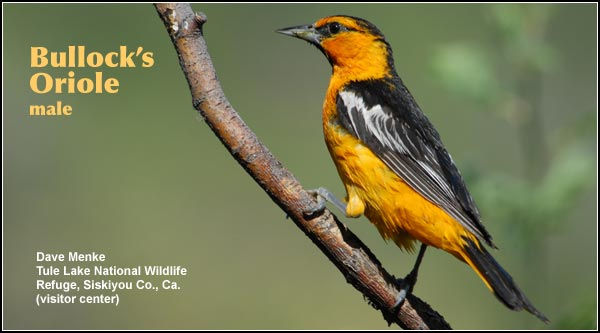Bullock Orioles breed in the Upper Klamath Basin watershed. They are seen primarily during the spring and summer in willow, cottonwood and other deciduous trees where they construct distinctive hanging nests. They are also found in juniper/sagebrush, crop and pasture habitats. photo by dave menke