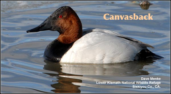 Canvasbacks are seen in deep water marshes during the spring and fall migration periods.   Small numbers of  canvasbacks nest in the  Upper Klamath Basin watershed.  photo dave menke