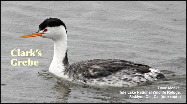 Clark's grebes like the similar and more abundant western grebe, are a common breeding species found in deep wetlands during the spring, summer and fall.  photo dave menke