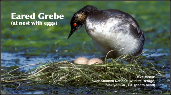 Eared grebes construct floating nests and lay 3 to 5 eggs which hatch from late June to  Mid-July.  While they are observed throughout the year, their numbers decrease during  the winter.  photo Dave Menke