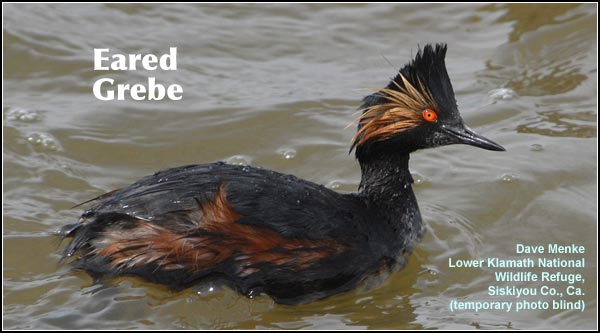 Eared grebes are a common breeding species in permanent marshes throughout the Upper Klamath and Tule Lake Basins.  They are commonly seen during the spring and summer months.  photo Dave Menke