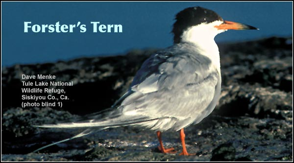 Forster's terns are commonly found in nearly all wetland habitats including irrigation canals and large open water bodies.  They are seen in the Upper Klamath and Tule Lake Basins during the spring and summer months.   photo Dave Menke