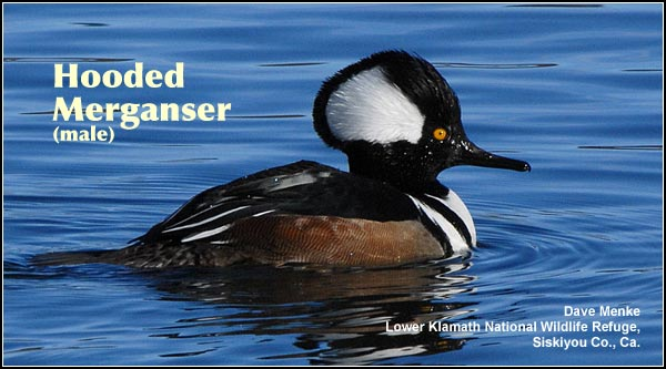 Hooded mergansers, in small numbers,  are found in deep water wetlands during the fall, winter and spring.  They are a rare nesting species in the northern part of the Upper Klamath Basin where they nest in tree cavities.  photo by dave menke