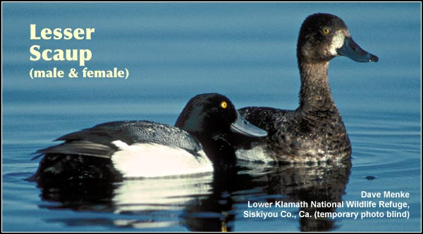 Lesser scaup are one of the most common diving ducks that breed in the Upper Klamath Basin watershed.  Their numbers increase during the migration periods  and winter months. photo by dave menke