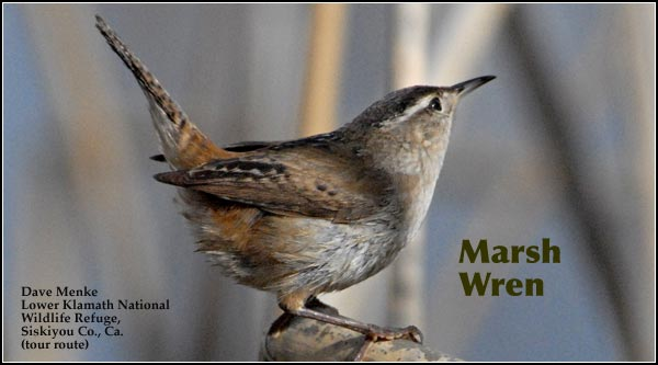 Marsh wrens are almost exclusively seen in emergent cattail and bulrush vegetation at  the edges of shallow and deep water marshes.  They are found year-round with numbers decreasing during the winter months.  photo by dave menke