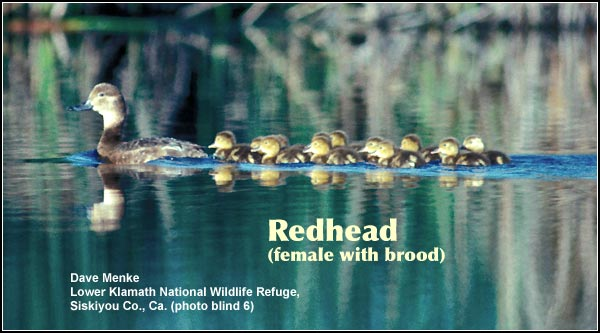 Redheads broods, while not as common as some other ducks such as mallards and gadwall, may be seen on deep water marshes on Lower Klamath Refuge and Upper Klamath Lake.  Redheads typically lay 9 to 14 eggs.  photo by dave menke