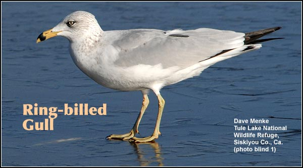 Ring-billed gulls are an abundant and widespread year-round residents found in all  habitats that are near open water, marshes, rivers and other wetlands in the Upper Klamath and Tule Lake Basins.  photo by dave menke