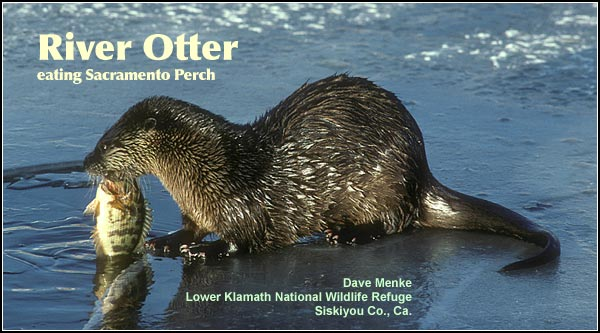 River otters are observed in relatively deep wetland habitats within the Upper Klamath and Tule Lake Basins. They are year-round residents often seen in family groups. During the winter months they are sometimes spotted in irrigation canals. photo dave menke