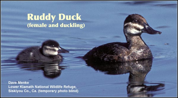 Ruddy ducks are observed year-round in deep water wetlands in the Upper Klamath and Tule Lake Basins.  Although a breeding species, they are most numerous in the late fall and winter months. photo by dave menke