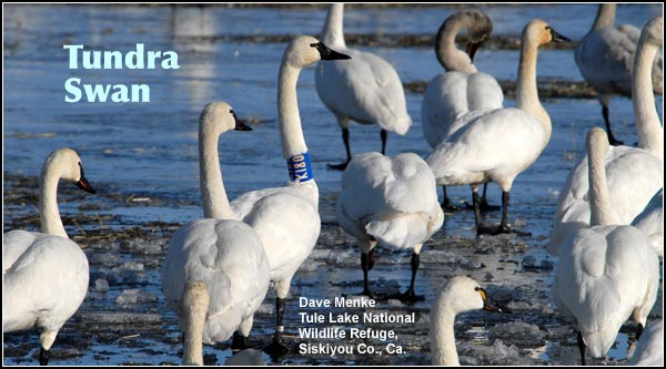 Tundra swans are most common in the late fall, winter and spring months.  Neck collars allow researchers to track seasonal movements, document habitat use and longevity of the swans.  photo by dave menke