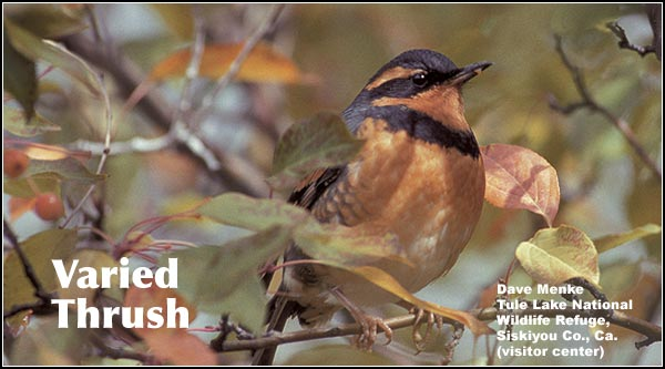 Varied Thrush is a rare species in the Upper Klamath and Tule LakeBasins. It has been seen primarily during the spring and fall migrations. It is also found in Ponderosa/lodgepole pine forest. photo by dave menke